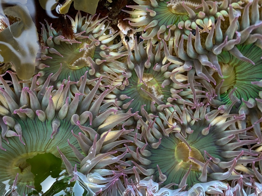 Looking down on a few pink-tipped green in a rocky tide pool, tentacles extended