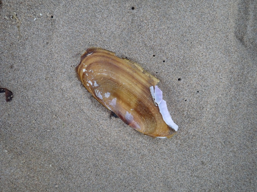 Freshly dead razor clam, empty shell on the wet sand