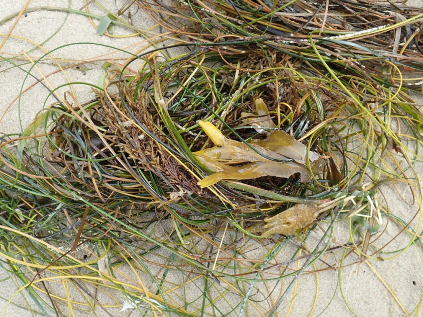 Just a drift mass of surfgrass with some Fucus and Sargassum