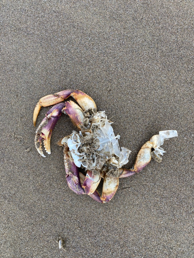 Molted main body and legs on wet sand
