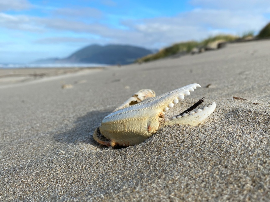 Bleached claw on dry sand, almost up at the base of the foredune