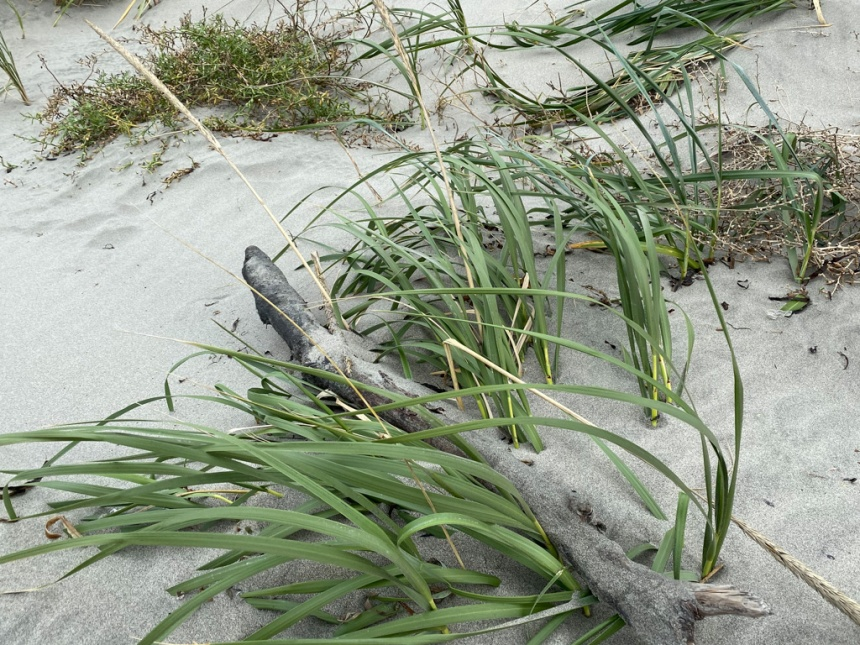 Closeup on dune grass emerging from sand at the base of the foredune