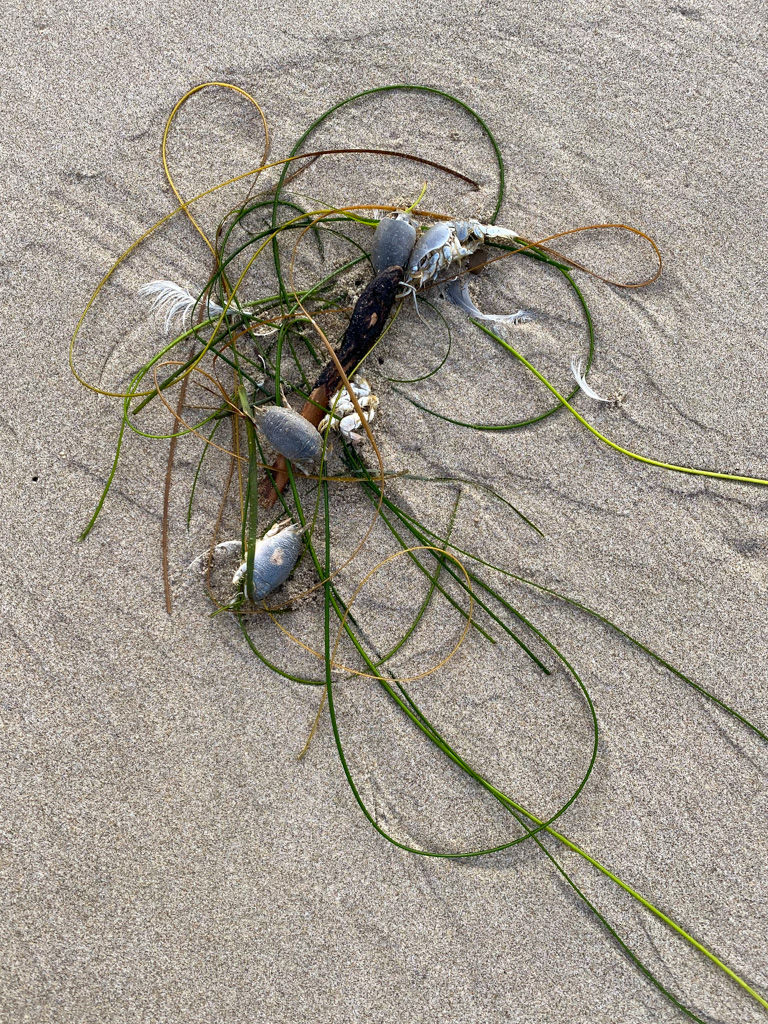 Surfgrass, mole crabs, and a white feather on clean wet sand