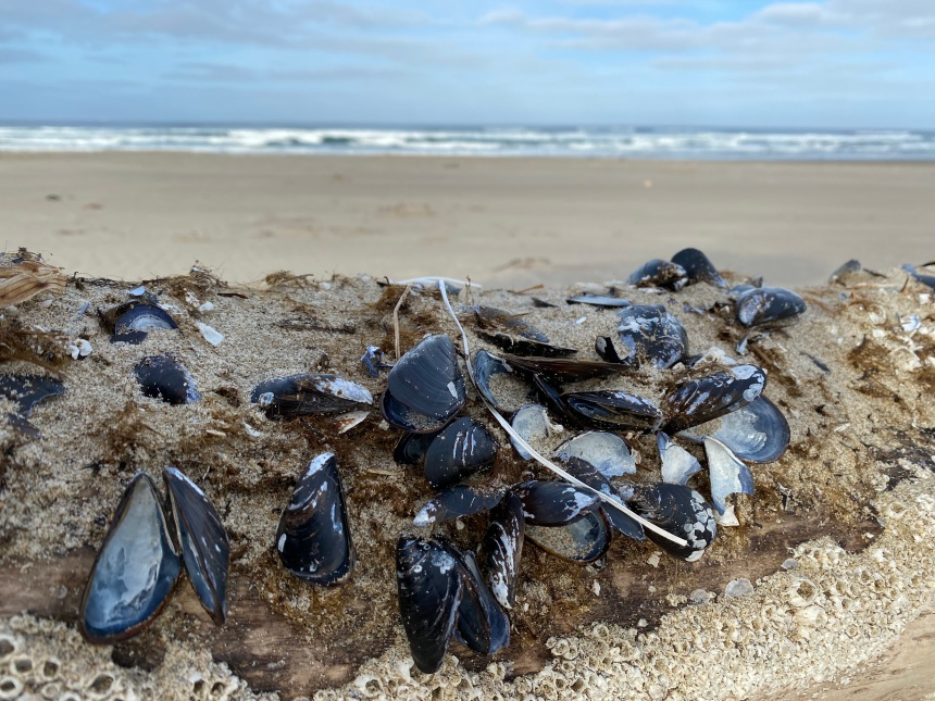 Mytilus trossulus, blue mussels, on a drifted piling