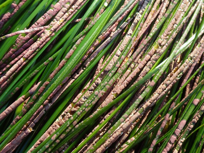 Kind of a close up on 20 or so surfgrass blades, most of them encrusted with Melobesia