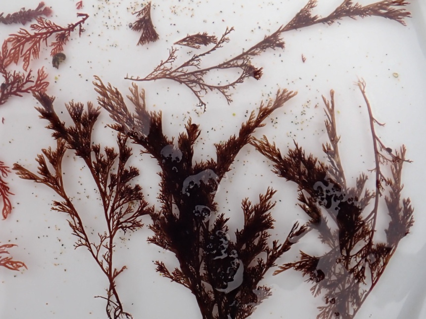 Branches floated in a finger bowl to show the branching pattern
