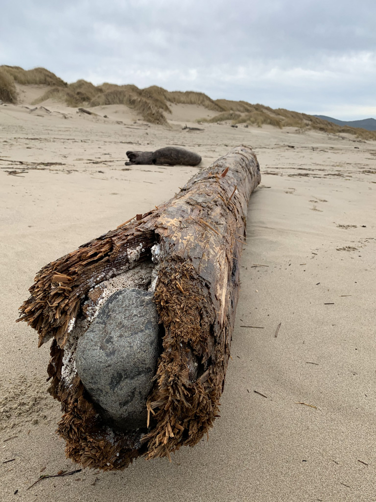 A rock jammed into the base of drifted tree of piling (hard to tell)