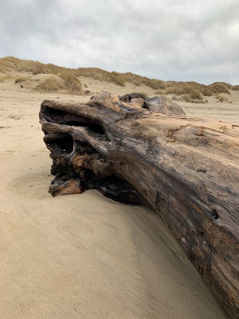 large drift log, the base pointing up toward the foredundune
