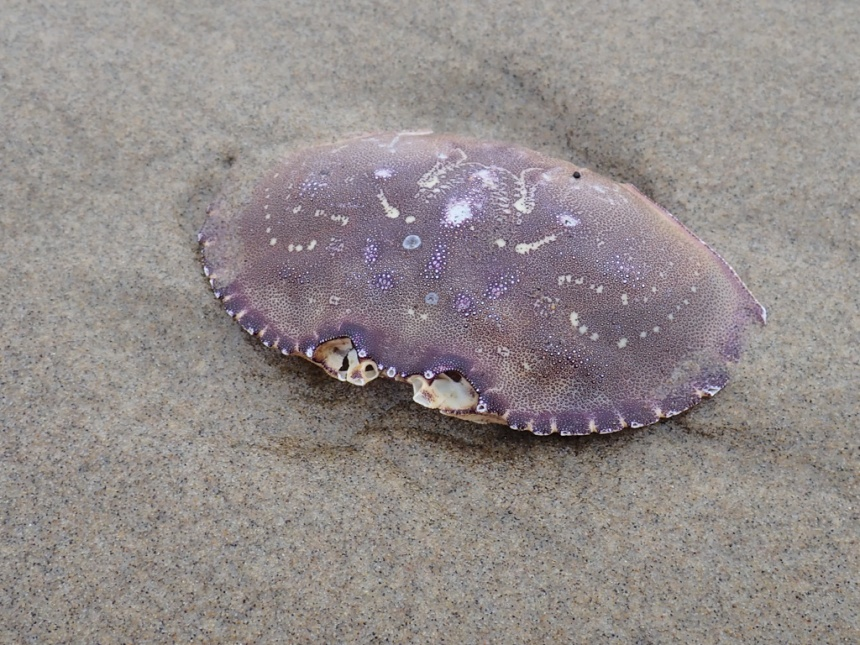Purplish carapace fills most of the frame, on wet sand