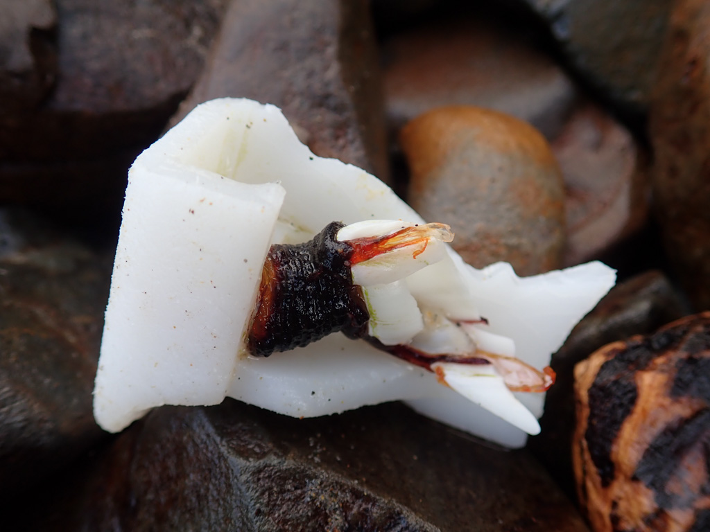 A large solo pelagic goose barnacle on a white plastic fragment. I wonder what its story is