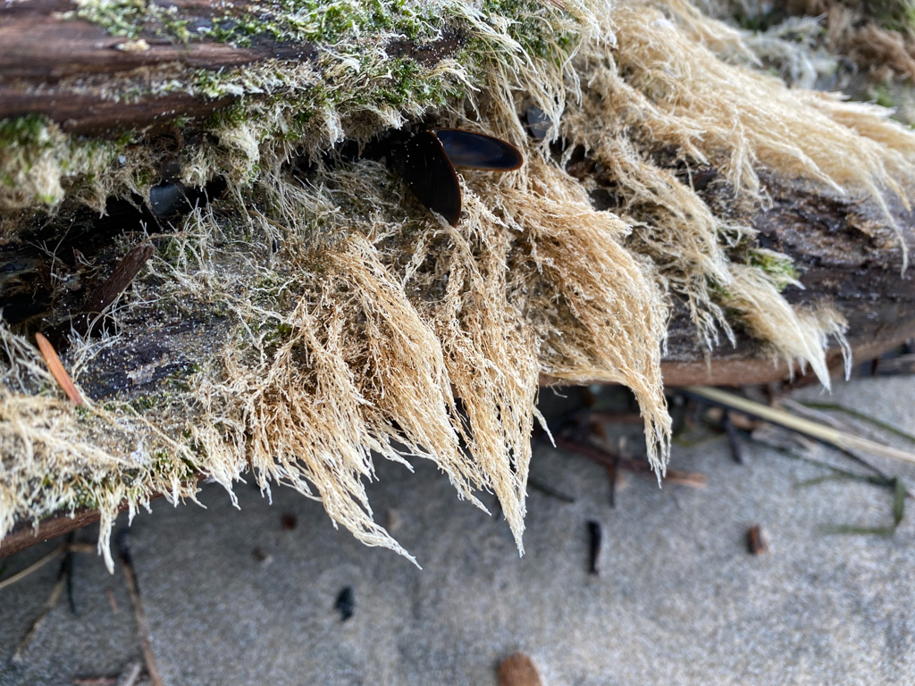 Intimate view of a hairy-looking coat of hydroids on a drifted log; a lone mussel too.