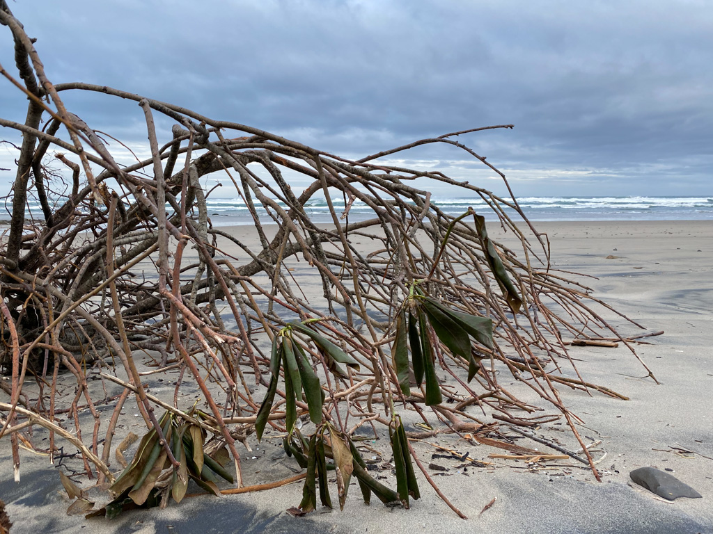 A drifted Rhododendron; view out to the surf line
