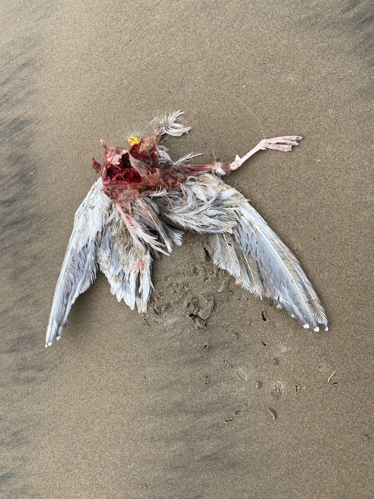 Dead Larus gull with the breast meat eaten; large avian scavenger tracks in the sand