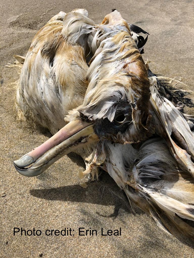 Dead albatross on undisturbed sand; intimate view of the head.