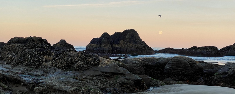 Sunrise, and the moon's still up. View is out to sea, with the moon just above the horizon. Morning is just starting to glow and a gull in flight is just above the moon, flying northbound