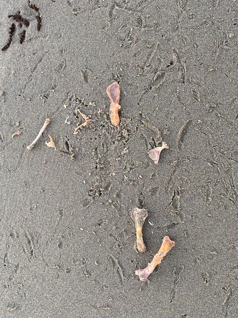 Several small bones, cleaned of flesh; gull tracks in the sand