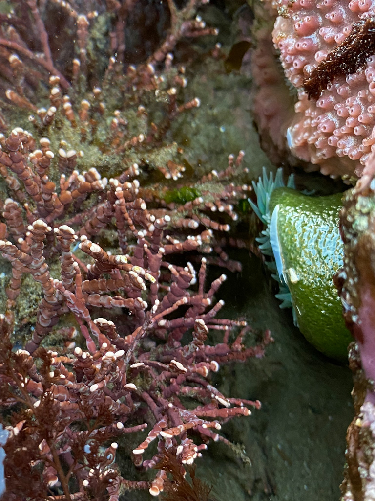 Calliarthron is joined in the pool by a giant green anemone and a purple encrusting sponge