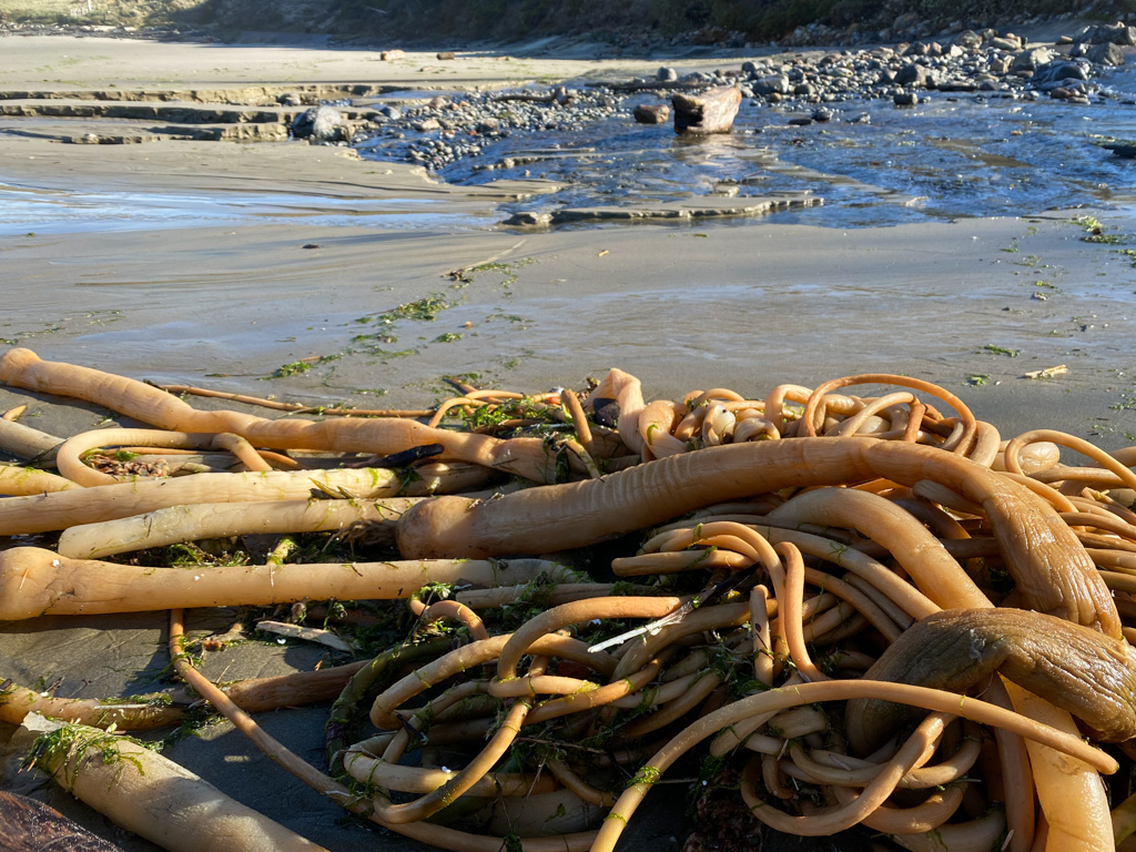 Drift bull kelp way up on the beach; creek in the background