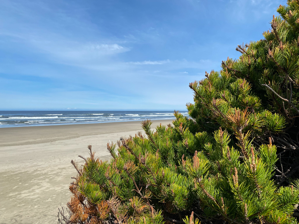 Showing a portion of a low-growing shoe pine down low, just above beach sand; surf zone in the distance