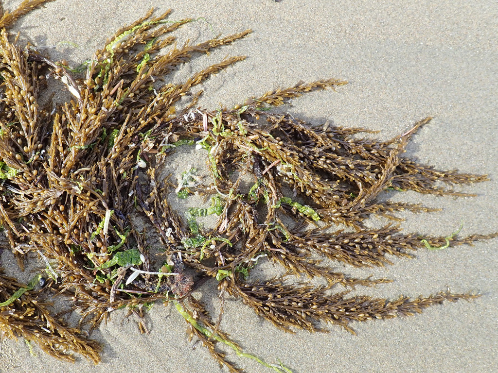 A drifted clump on beach sand; lots of tiny floats