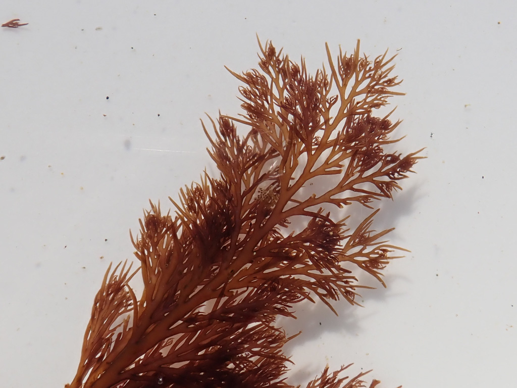 Shows of the reddish color and pointy branch tips