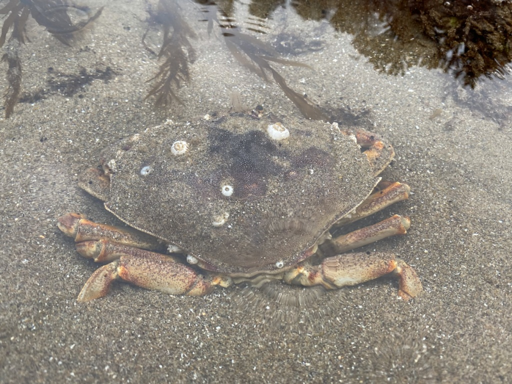 The crab is facing away from the viewer, it's feet buried in sand and a few barnacles on it's shell.